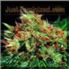 Sagarmatha Strawberry D-Lite Feminized 5 Seeds